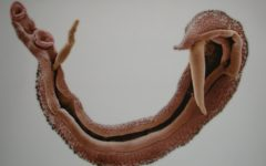 Шистосомоз: червь