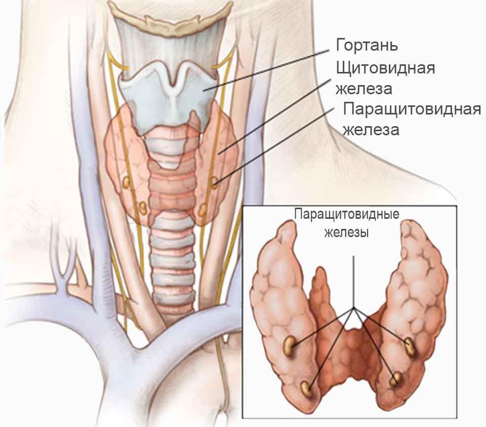 Гипопаратиреоз: симптомы и лечение