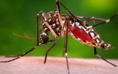 Комар Aedes aegypti - разносчик вируса Зика