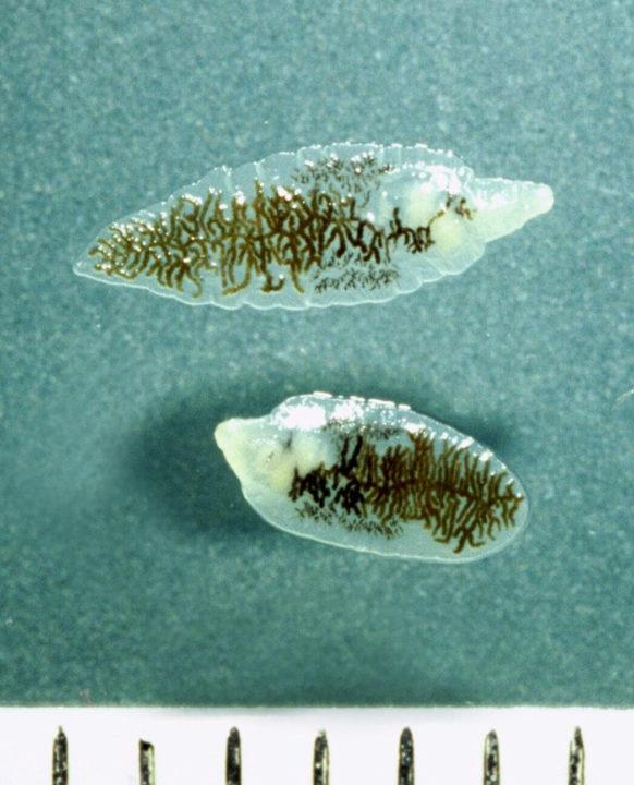 Взрослые особи Ланцетовидной двуустки (шкала в миллиметрах).
